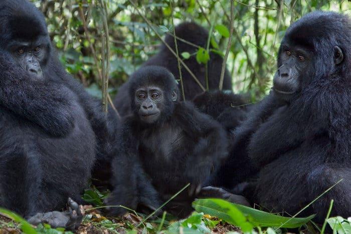 Members of the Nkuringo gorilla family in Bwindi