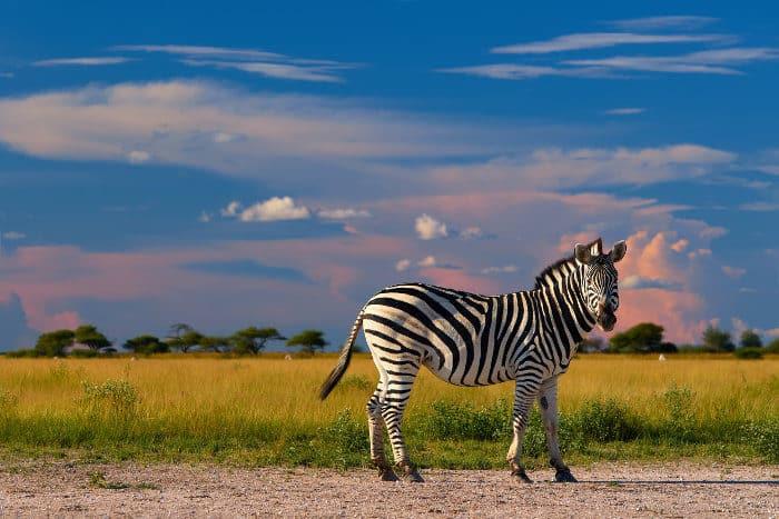 Plains zebra photographed at Nxai Pan