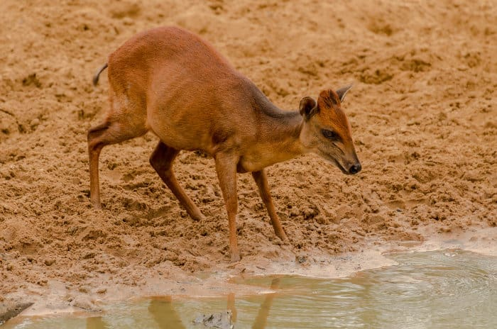 Red duiker taking a late afternoon drink in Mkhuze Game Reserve