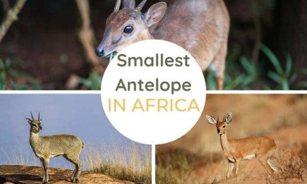 The smallest antelope species in Africa
