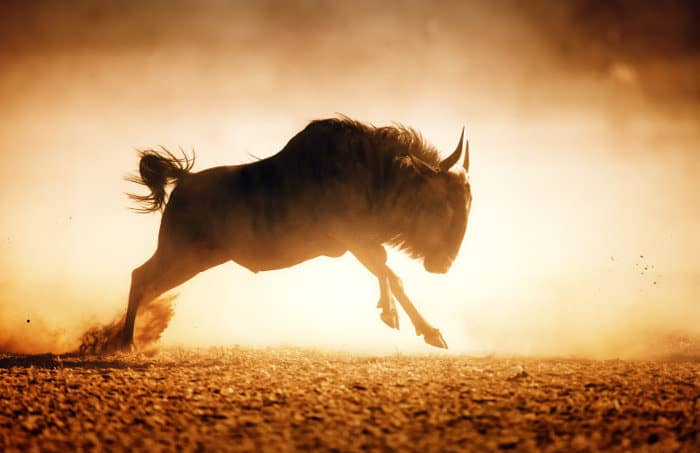 Blue wildebeest running in dust in the Kalahari desert