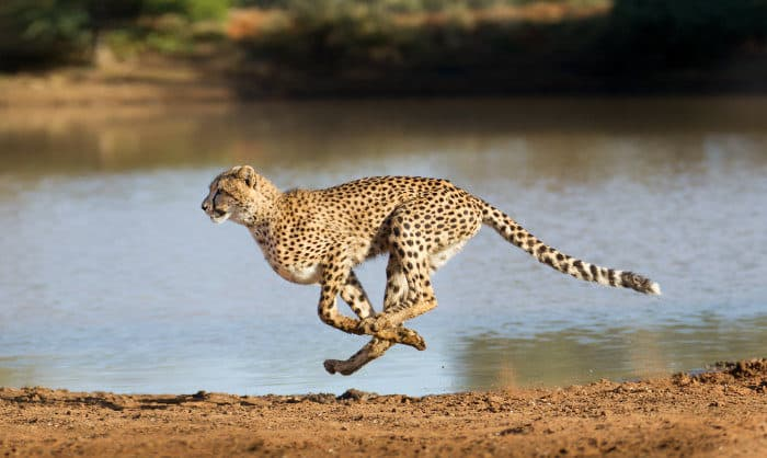 Cheetah running at full speed in South Africa