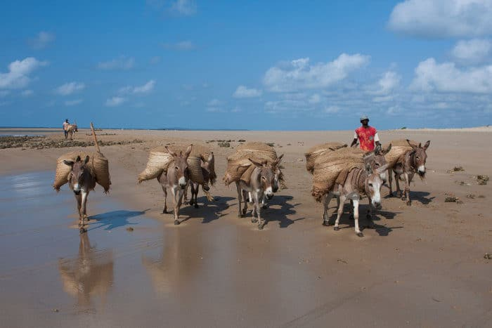 Donkeys carrying goods on a local beach in Lamu