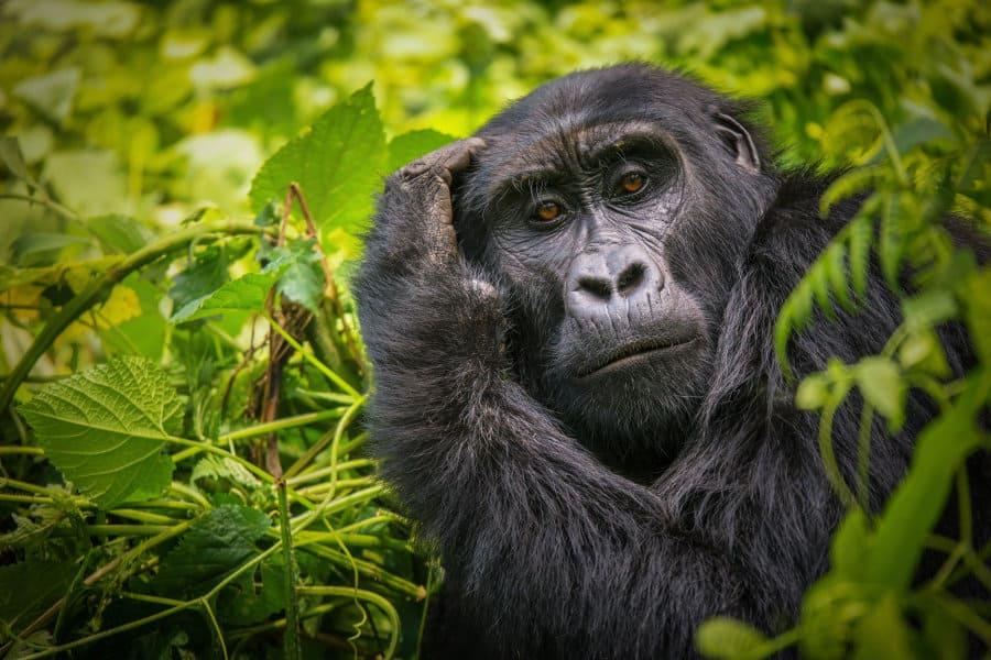 6 reasons why the mountain gorilla is endangered
