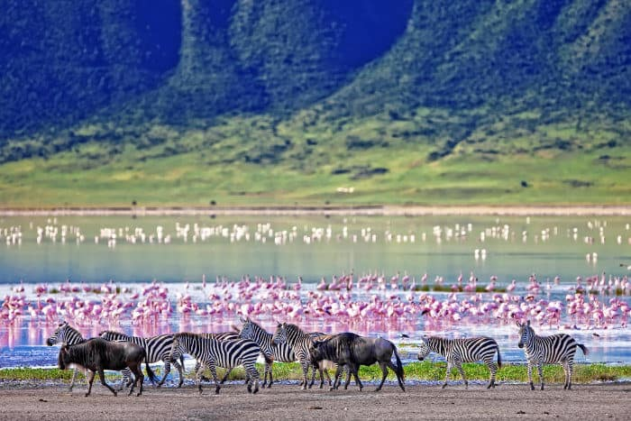 Zebra and wildebeest, with pink flamingos in the background