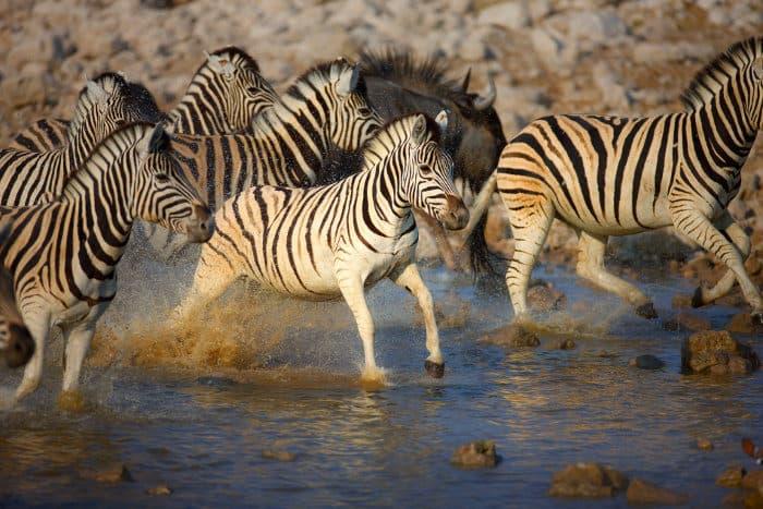 Frightened zebra herd fleeing from a waterhole