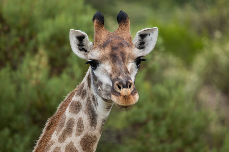 What Sound Does a Giraffe Make? You're In for a Beautiful