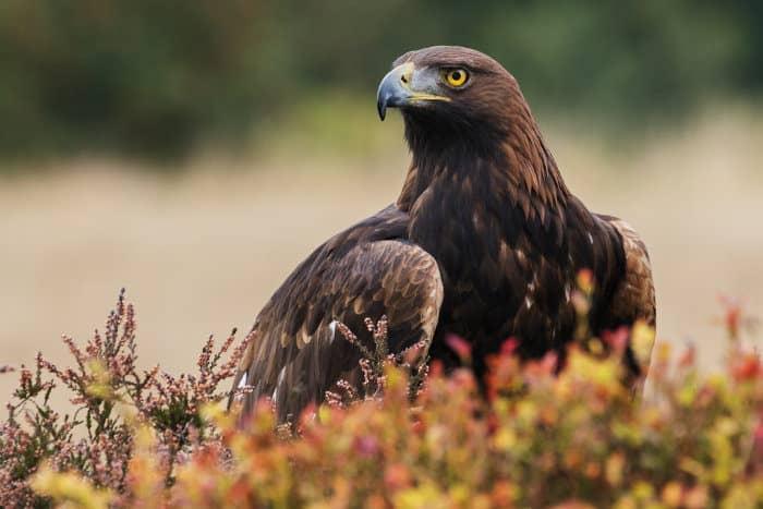Golden eagle in observation mode, amongst moorland vegetation