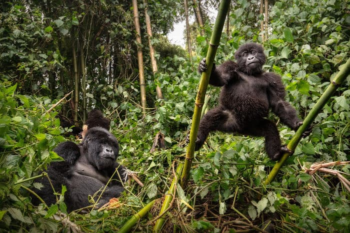 Wild mountain gorillas in their natural habitat