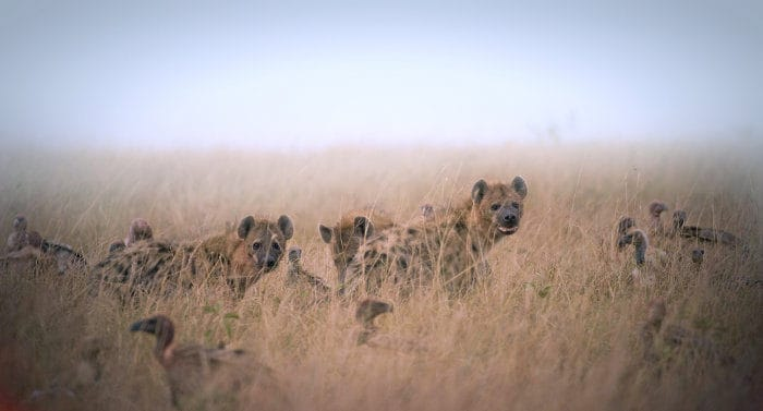 Hyena and vultures eating remains of a dead animal in the open grasslands