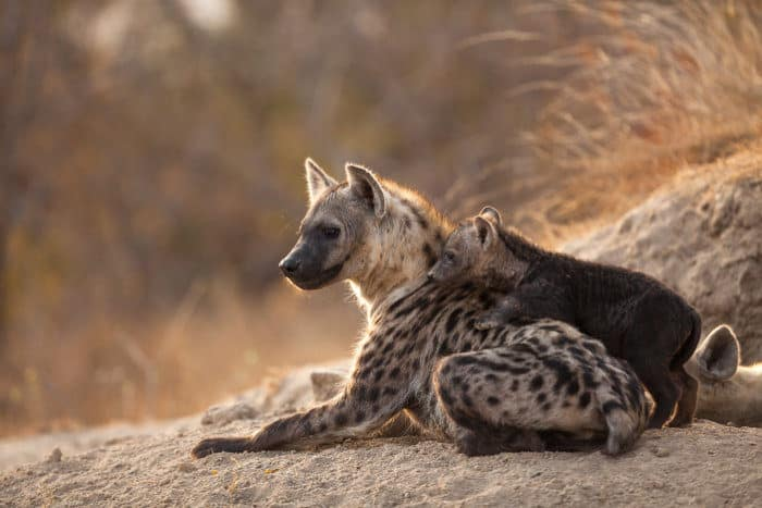 Mum and baby hyena resting in front of the den