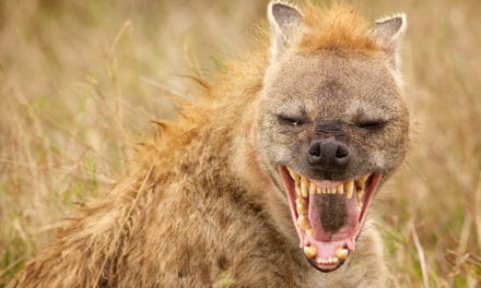 Do hyena laugh? Are laughing hyena a myth?