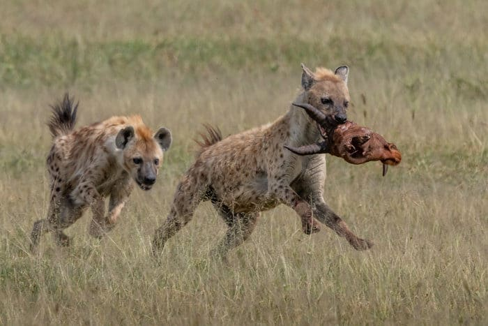 Hyena with topi head in its jaw, being chased by a clan member