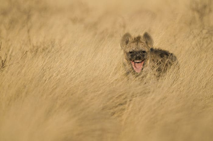 "Spotted hyena with an apparent ""grin"" on its face"