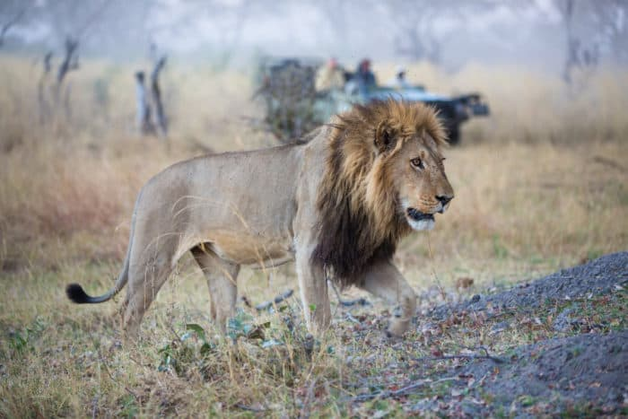 A large black-maned lion walks past a safari vehicle in the Linyanti Swamps, Botswana