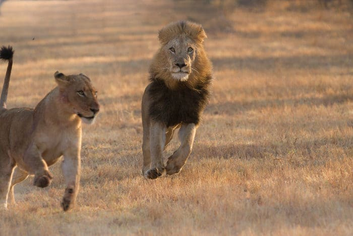 Lion chases female off a carcass