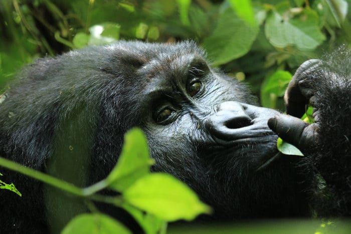 Close-up of a beautiful mountain gorilla in Bwindi