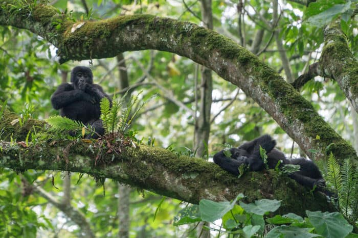 Two young mountain gorillas playing in a tree