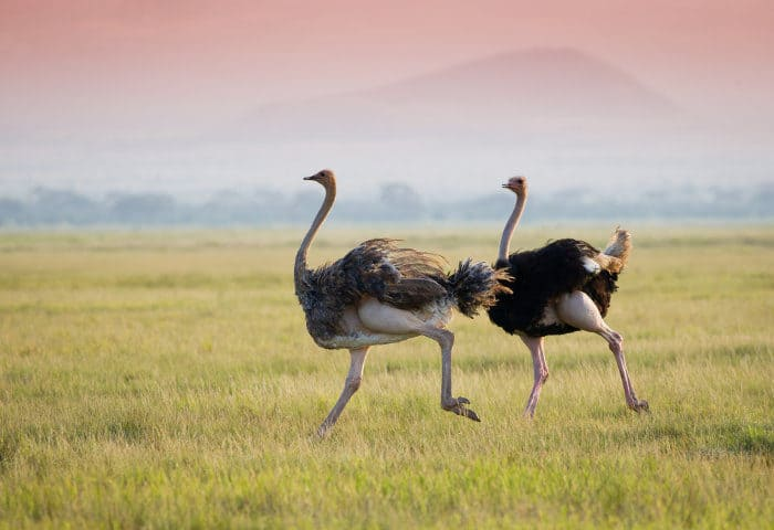 Pair of ostrich running on the African plains