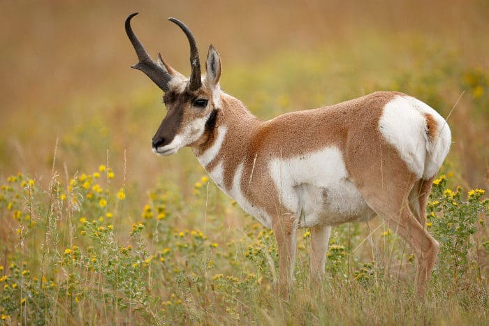 Pronghorns are actually artiodactyls, mammals of the order Artiodactyla