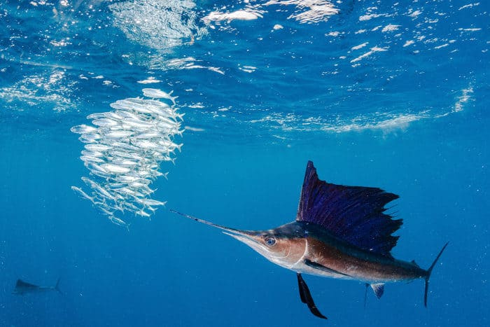 "Sailfish and ""fish ball"" swimming in the Ocean"