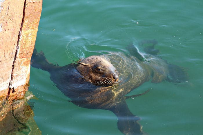 Seal swimming in Hout Bay harbour