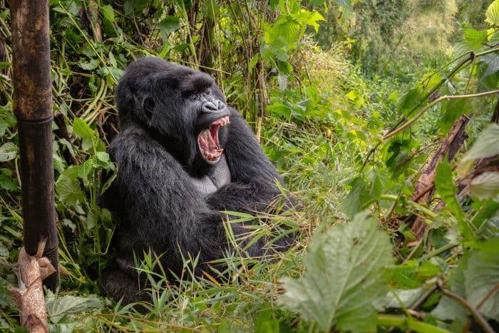 Wild silverback gorilla yawning