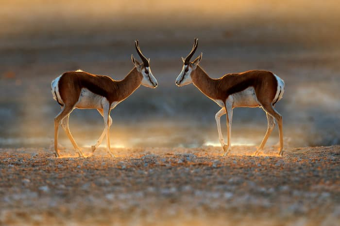 Springbok facing each other, almost like in a mirror