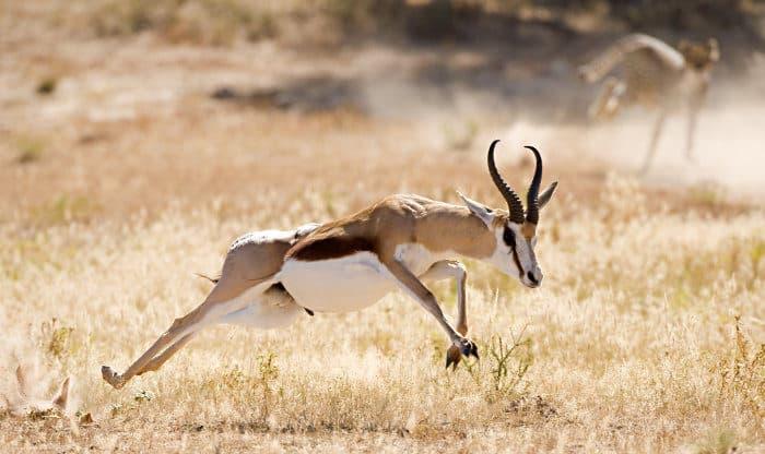 Springbok sprinting away from cheetah