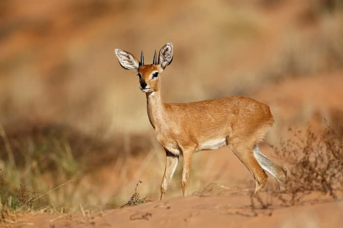 Male steenbok in the Kalahari desert