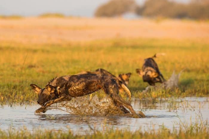 Wild dogs splashing through water