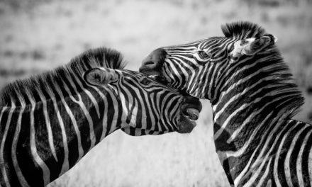 The uniqueness of zebra stripes