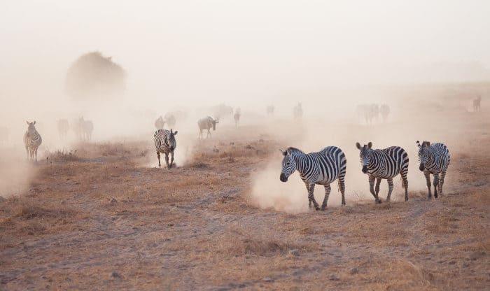 Zebra marching in cloud of dust