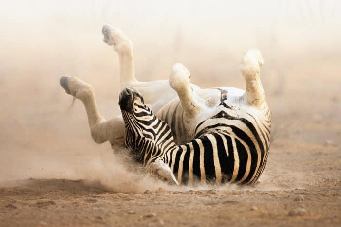 Zebra rolling in dust, scratching its back