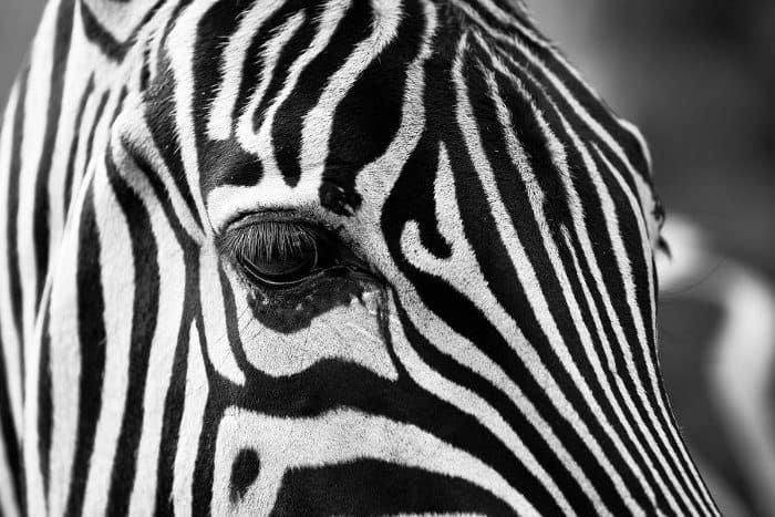 Zebra face zoomed in