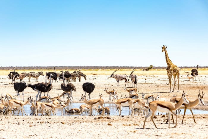 African animals at M'Bari waterhole in Etosha