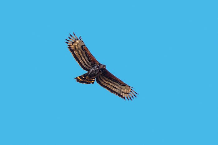 African crowned eagle in flight, pictured from below