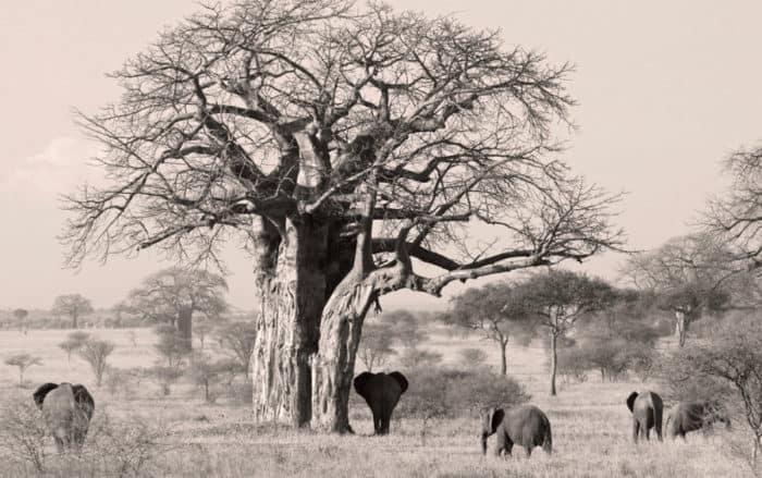 Elephants under large baobab tree, black and white