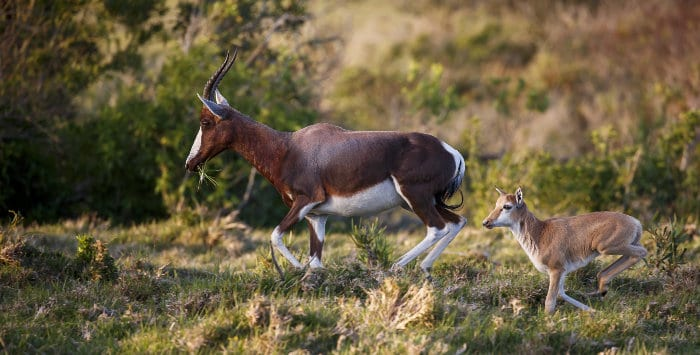 A very young bontebok calf runs behind its mother to safety