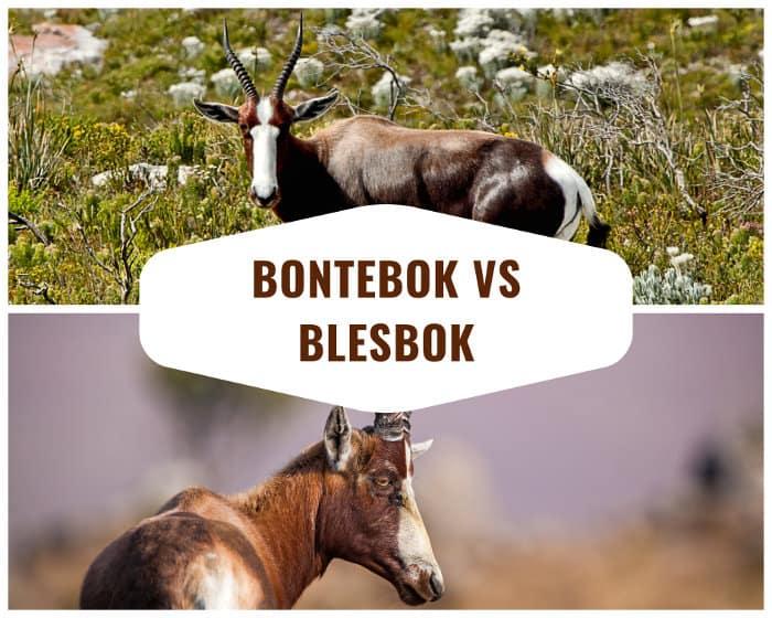 Bontebok vs Blesbok