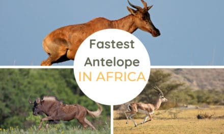 The fastest antelope species in Africa