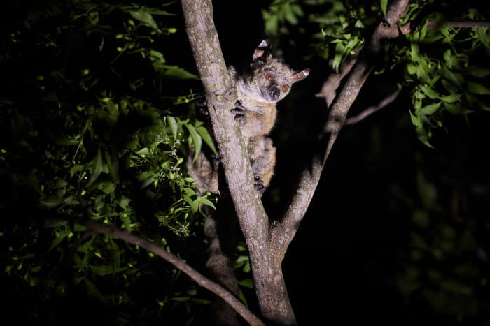 Garnett's greater galago, lit by a torch in the fork of a tree