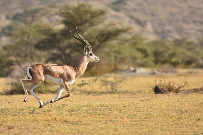 Grant's gazelle on the run in Ethiopia