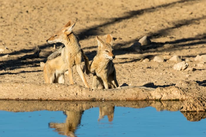 Two black-backed jackals drinking from a waterhole in the Kgalagadi Transfrontier Park