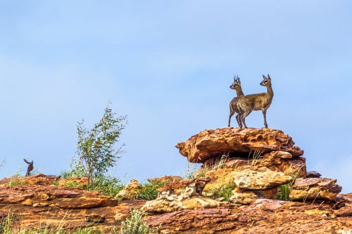 Pair of klipspringer proudly standing on a rock