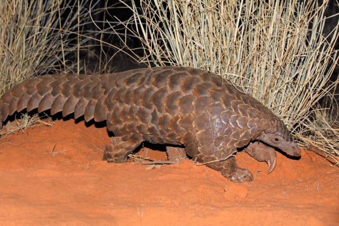 Temminck's ground pangolin in its natural habitat