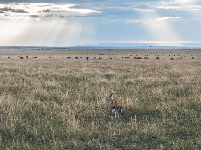 Lone Thomson's gazelle on the Masai Mara plains