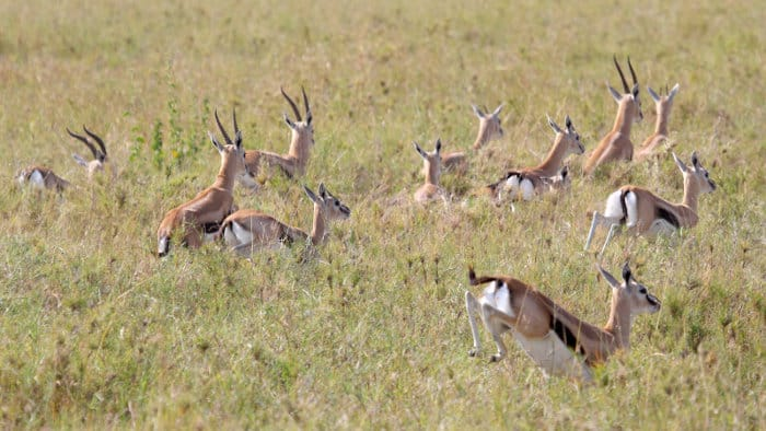 Thomson's gazelle running in the Serengeti