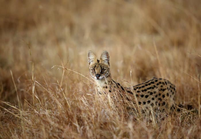 Serval cat in alert mode
