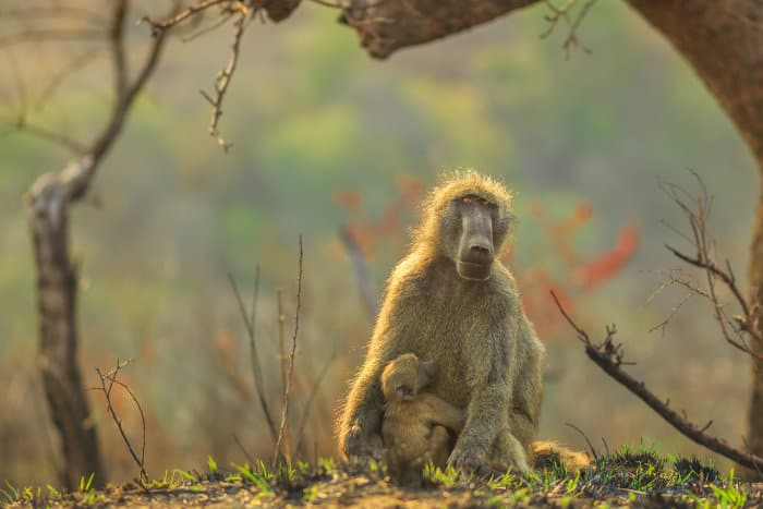 Tender moment between mom chacma baboon and her baby